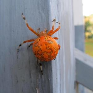 One of my favorite creatures I ever captured in a picture on our front porch, October 2011